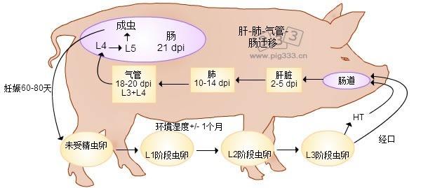 猪蛔虫生长周期